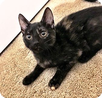 Domestic Shorthair Cat for adoption in Arlington/Ft Worth, Texas - Bellatrix