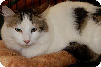 Domestic Mediumhair Cat for adoption in Walnut Creek, California - Madonna