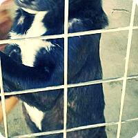 Labrador Retriever Mix Puppy for adoption in Odessa, Texas - Guinness