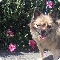 Adopt A Pet :: Cindy - Seattle, WA