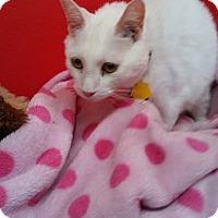 Domestic Shorthair Cat for adoption in Phoenix, Arizona - SNOWBALL