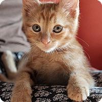 Adopt A Pet :: Cinnamon Bun - Brooklyn, NY