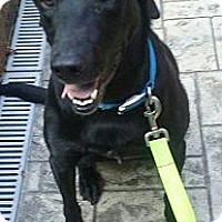 Labrador Retriever Mix Dog for adoption in Russellville, Kentucky - Macy
