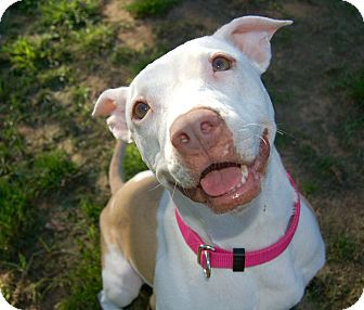 American Pit Bull Terrier/Bull Terrier Mix Dog for adoption in Bedford, Texas - Olive