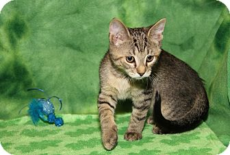 Domestic Shorthair Kitten for adoption in Marietta, Ohio - Gum Drop (Sasha's Kitten)