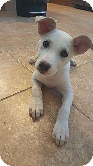 Shepherd (Unknown Type)/Terrier (Unknown Type, Medium) Mix Puppy for adoption in Houston, Texas - Calypso