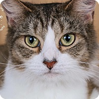 Domestic Mediumhair Cat for adoption in Cincinnati, Ohio - Hani