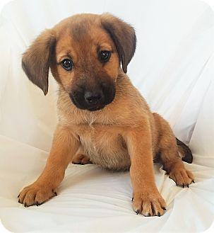 Labrador Retriever/German Shepherd Dog Mix Puppy for adoption in Mooresville, North Carolina - Punkin