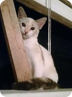 Siamese Kitten for adoption in Mission Viejo, California - Frosty