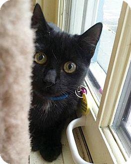 Domestic Shorthair Kitten for adoption in Hudson, New York - Rocket