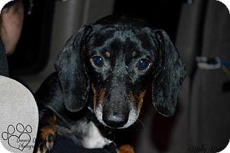 Dachshund Dog for adoption in Aurora, Colorado - Pawnee