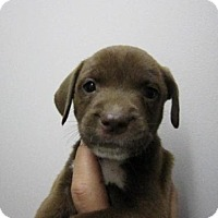 Adopt A Pet :: Baby Short Bread - Rockville, MD