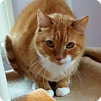 Domestic Shorthair Cat for adoption in Salisbury, Massachusetts - Nautilus