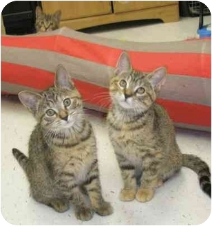 Domestic Shorthair Kitten for adoption in Windsor, Ontario - Lily