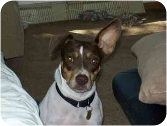 Terrier (Unknown Type, Small)/Chihuahua Mix Dog for adoption in Racine, Wisconsin - Quinn
