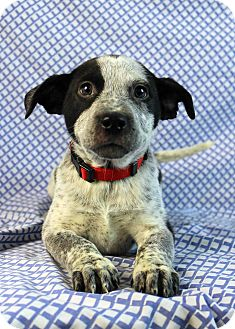 Bazza Adopted Puppy Westminster Co Blue Heeler