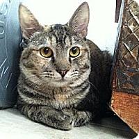 Domestic Shorthair Kitten for adoption in Miami, Florida - Princess