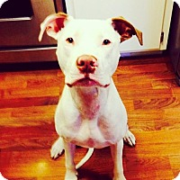 American Pit Bull Terrier Mix Dog for adoption in Dallas, Texas - zzBodhi