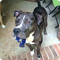 Adopt A Pet :: Merlot - Chattanooga, TN
