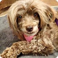 Adopt A Pet :: Farrah - Boulder, CO