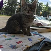 Adopt A Pet :: Storm - Trevose, PA