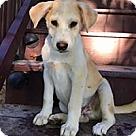Adopt A Pet :: Bella Baby Butterscotch