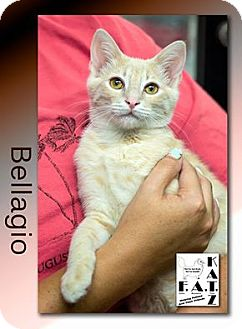 Domestic Shorthair Kitten for adoption in Albuquerque, New Mexico - Bellagio