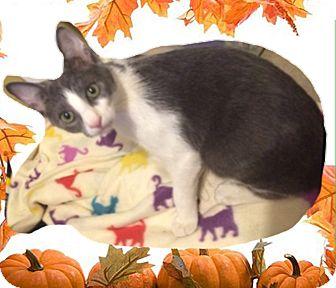 Domestic Shorthair Kitten for adoption in Madisonville, Louisiana - Sky