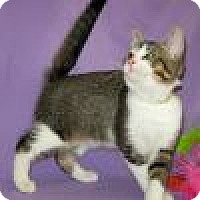Domestic Shorthair Cat for adoption in Powell, Ohio - Diaby