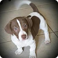 Adopt A Pet :: Wilma - Royal Palm Beach, FL
