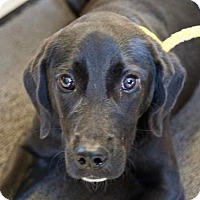 Labrador Retriever Mix Dog for adoption in Chester Springs, Pennsylvania - Madison