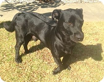Dachshund/Labrador Retriever Mix Dog for adoption in Los Angeles, California - Buster