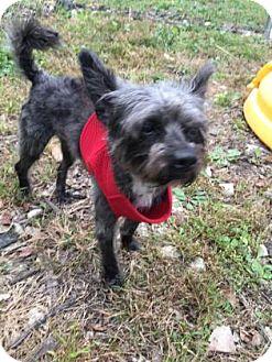 Miniature Schnauzer/Miniature Poodle Mix Dog for adoption in Chicago Heights, Illinois - Jason Vorhees