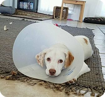 Hound (Unknown Type)/Australian Shepherd Mix Dog for adoption in Louisiana, Missouri - Olaf