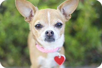 Chihuahua Dog for adoption in Los Angeles, California - Libby