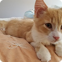 Domestic Longhair Kitten for adoption in Virginia Beach, Virginia - Lewis