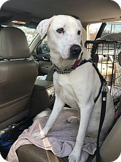 Labrador Retriever/Retriever (Unknown Type) Mix Dog for adoption in Manchester, New Hampshire - Sonny