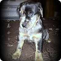 Adopt A Pet :: Snickers - Denver, NC