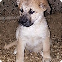 Adopt A Pet :: Sonchez - Albany, NC