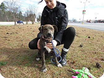 Labrador Retriever/Plott Hound Mix Puppy for adoption in Seneca, South Carolina - Jasmine $250