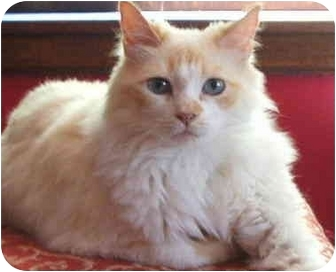 Ragdoll Cat for adoption in Keizer, Oregon - Simone