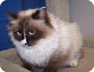 Ragdoll Cat for adoption in Colorado Springs, Colorado - Countess