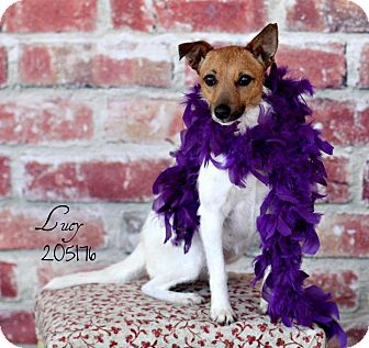 Jack Russell Terrier Mix Dog for adoption in Houston, Texas - Lucy in Houston