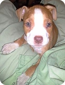 American Staffordshire Terrier/Terrier (Unknown Type, Medium) Mix Puppy for adoption in North Olmsted, Ohio - Ivy