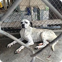 Adopt A Pet :: Brodie - Donaldsonville, LA