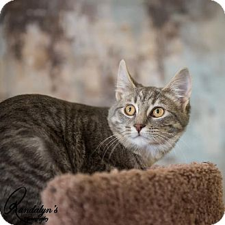 Domestic Shorthair Cat for adoption in Greenville, Illinois - Jossie