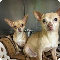 Chihuahua Dog for adoption in Chicago, Illinois - Chico