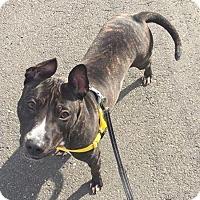 Adopt A Pet :: Shea - Newtown, CT