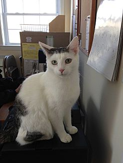 Domestic Shorthair Cat for adoption in Huguenot, New York - Wiley