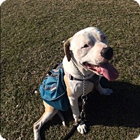 Adopt A Pet :: Chance aka GB - White Settlement, TX